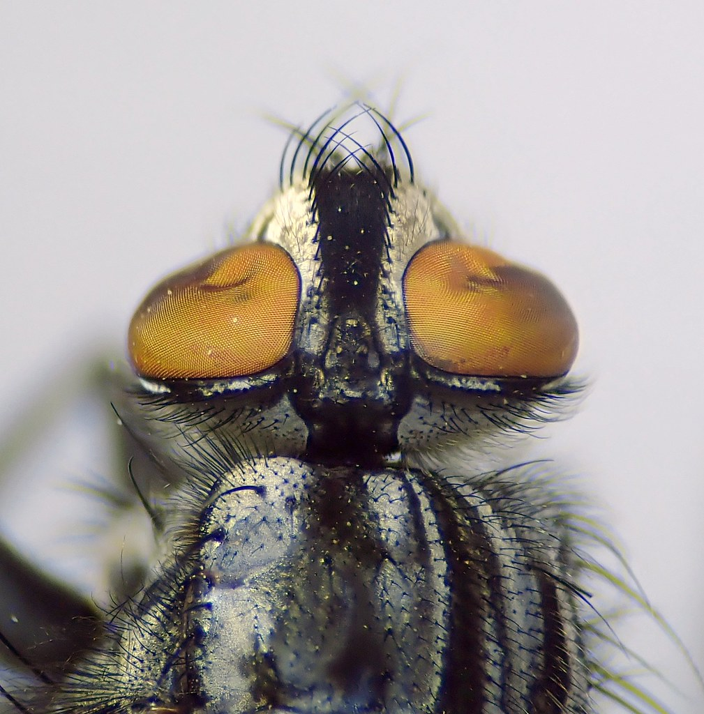 Sarcophaga carnaria male head - Canley Ford, Coventry 1