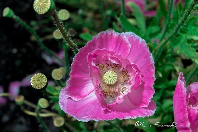 Poppy of Troy  (Papaver pink setigerum)