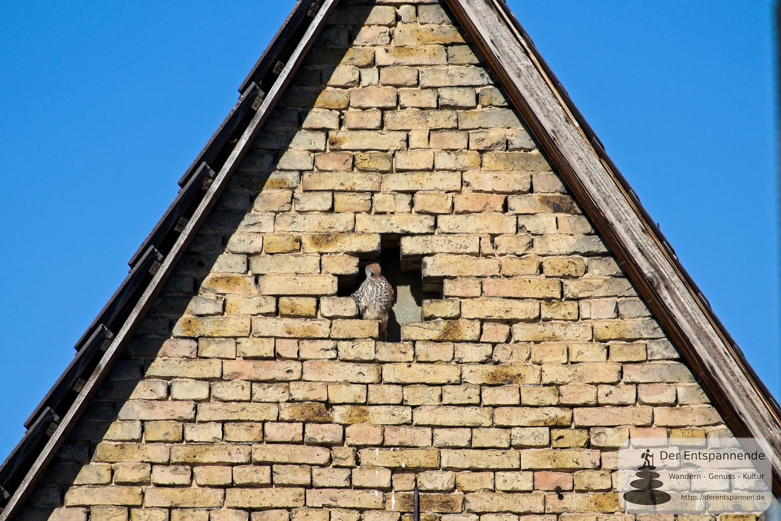 Turmfalke in Selzen
