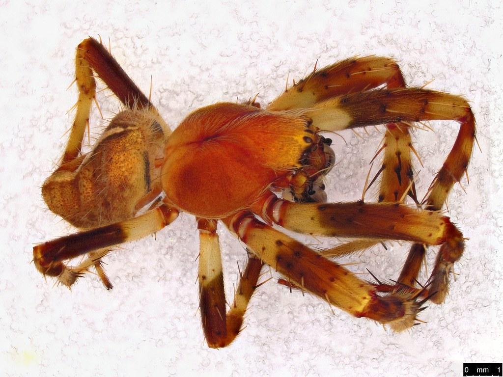 2c - Araneae sp.