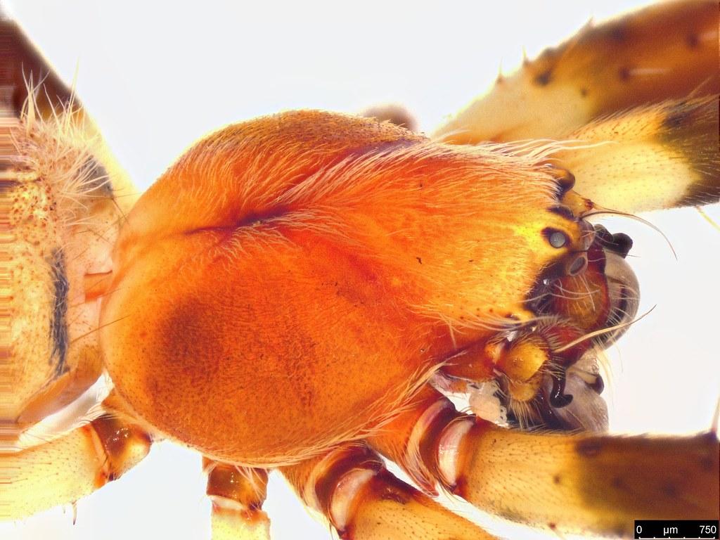 2d - Araneae sp.