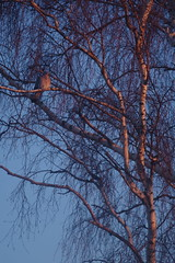 #MorningLight #pigeon #PentaxKP #135mm