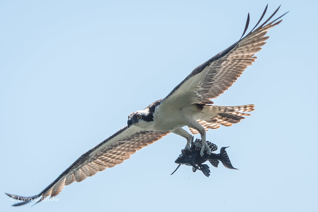 Osprey with lunch! 502_5148.jpg