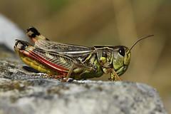 Arcyptera microptera carpentieri - Arcyptère caussenarde ♀