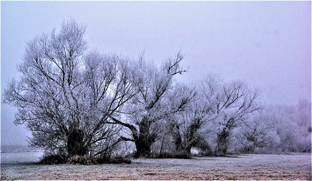 Willows in winter fog