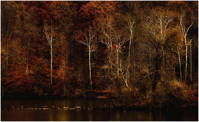 White Sycamores on the bank of the Occoquan River