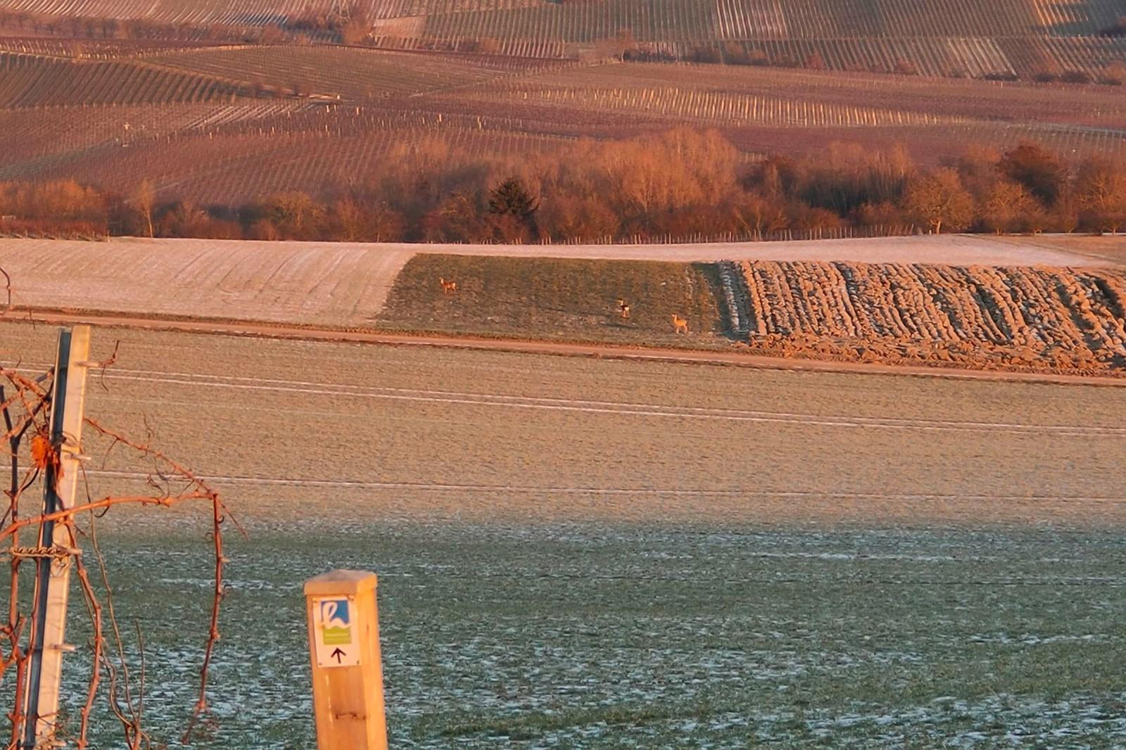 Rehe bei Zornheim - SunriseRun Hiwweltour Zornheimer Berg mit 8 und Schmackes