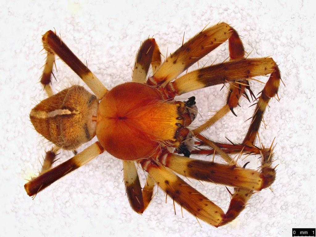 2a - Araneae sp.