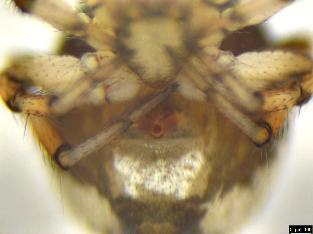 3c - Araneae sp.
