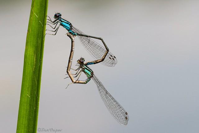 Skimming Bluet Pair