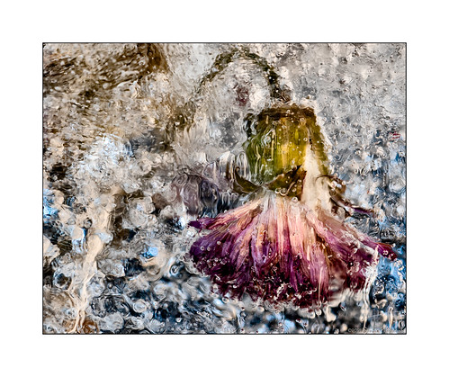 macromondays inice theme flower macro 55mmf28nikkormicro in ice mondays bubbles frozen very small tiny dancer wabisabi pk12 extension tube