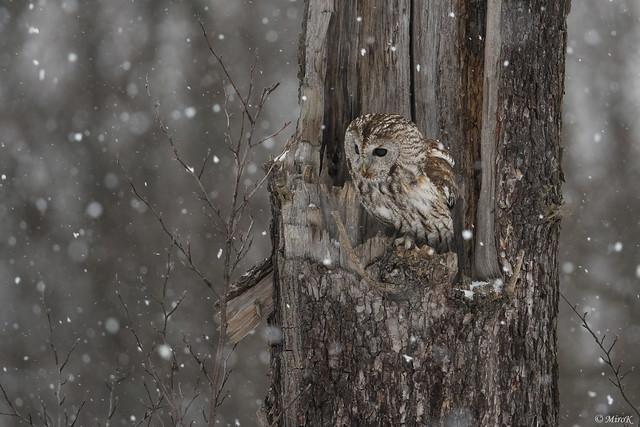 Tawny owl in snow