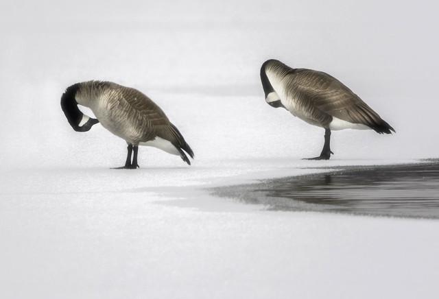 Goose grooming