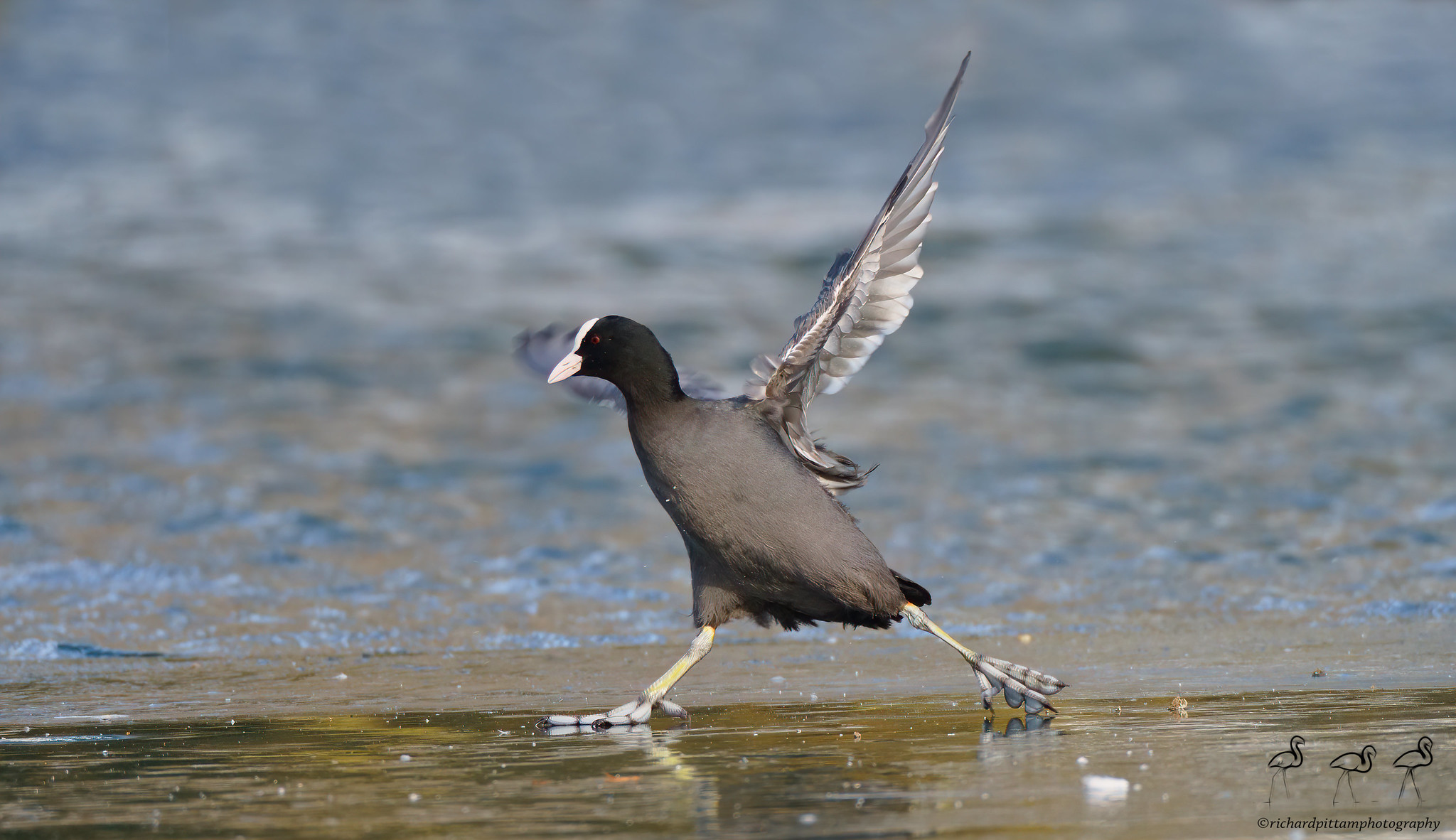 Coots on Ice
