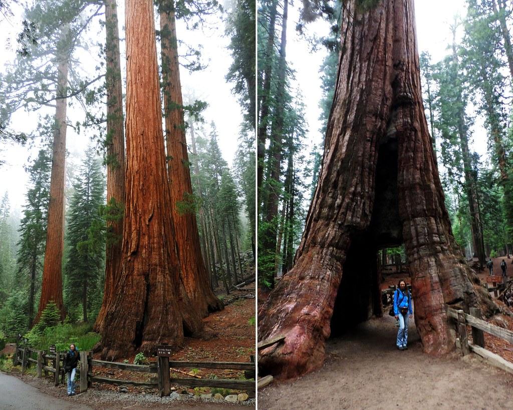 Mariposa Grove, Yosemite NP, California, USA