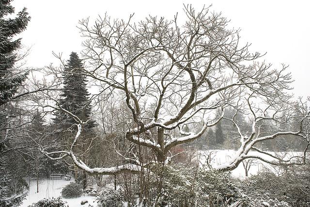 Heritage Japanese Walnut Tree