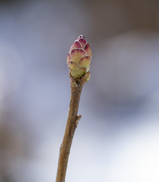 The tell-tale bud of the Pinxterbloom Azalea (Rhododendron periclymenoides)