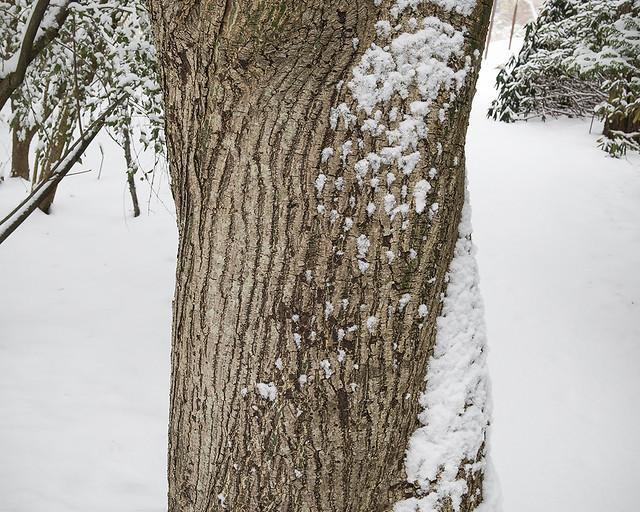 Acer davidii, trunk detail in Winter