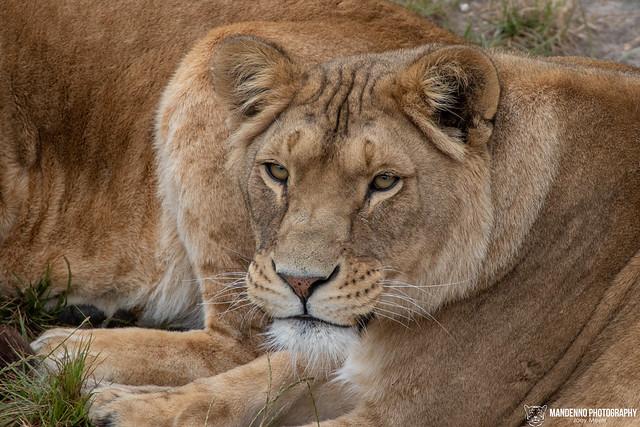African Lioness - Safaripark Beekse Bergen - The Netherlands