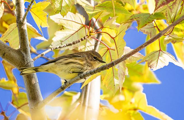 Palm warbler in autumn