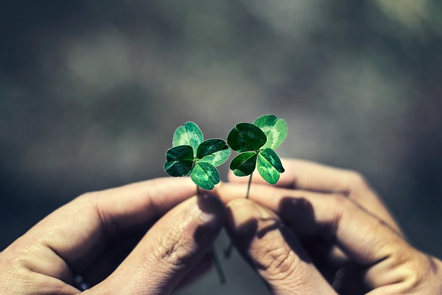 Four leaf clover in hands