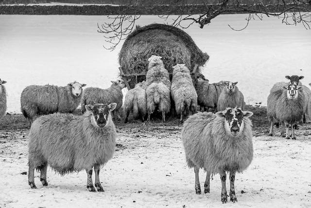Winter sheep feeding