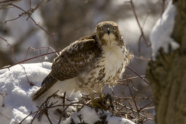 Red-tailed Hawk   Nature's Awesomeness