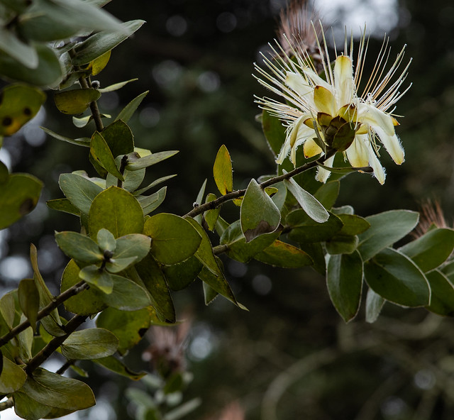 Potberg Sugarbush (Protea aurea ssp. potbergensis)