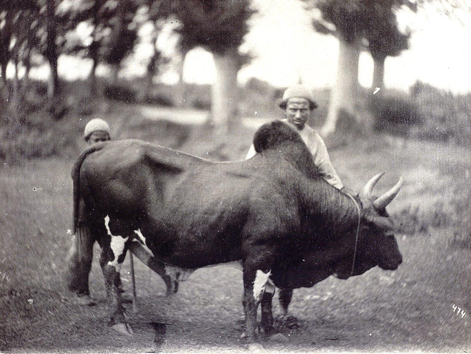 Рабочий бык