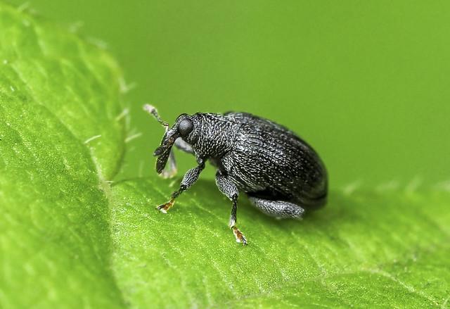 Weevil (Curculionidae)118z-7156360