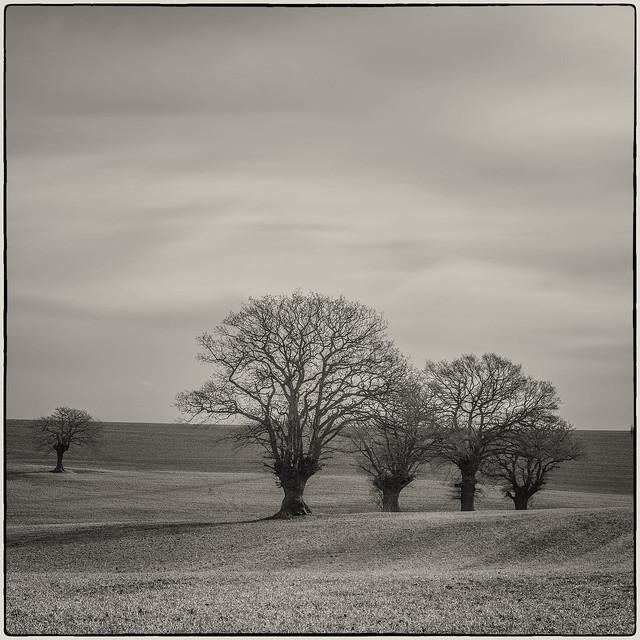 Pollarded Oak Trees