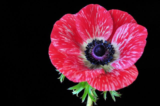 Pink Poppy Anemone (Anemone Coronaria)