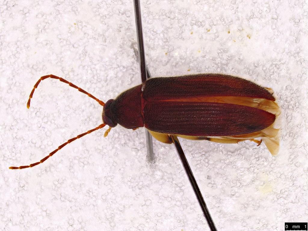 11b - Homotrysis sp.