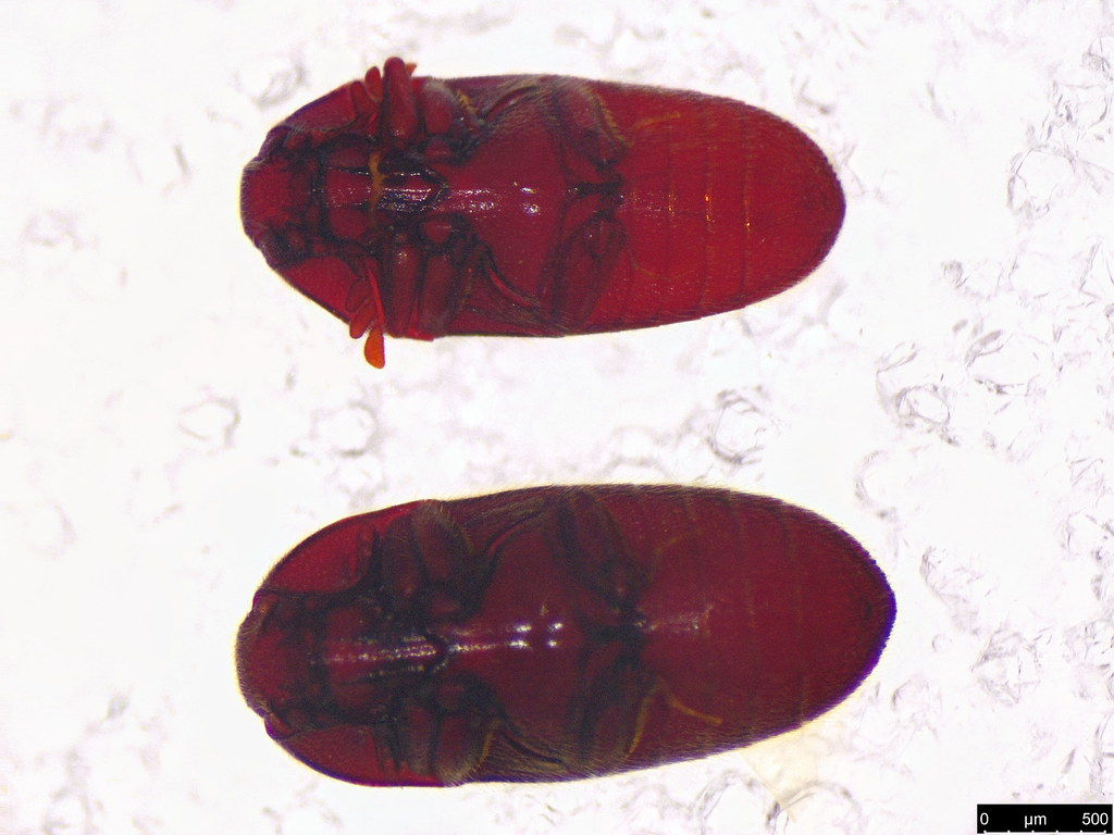 14a - Throscidae sp.