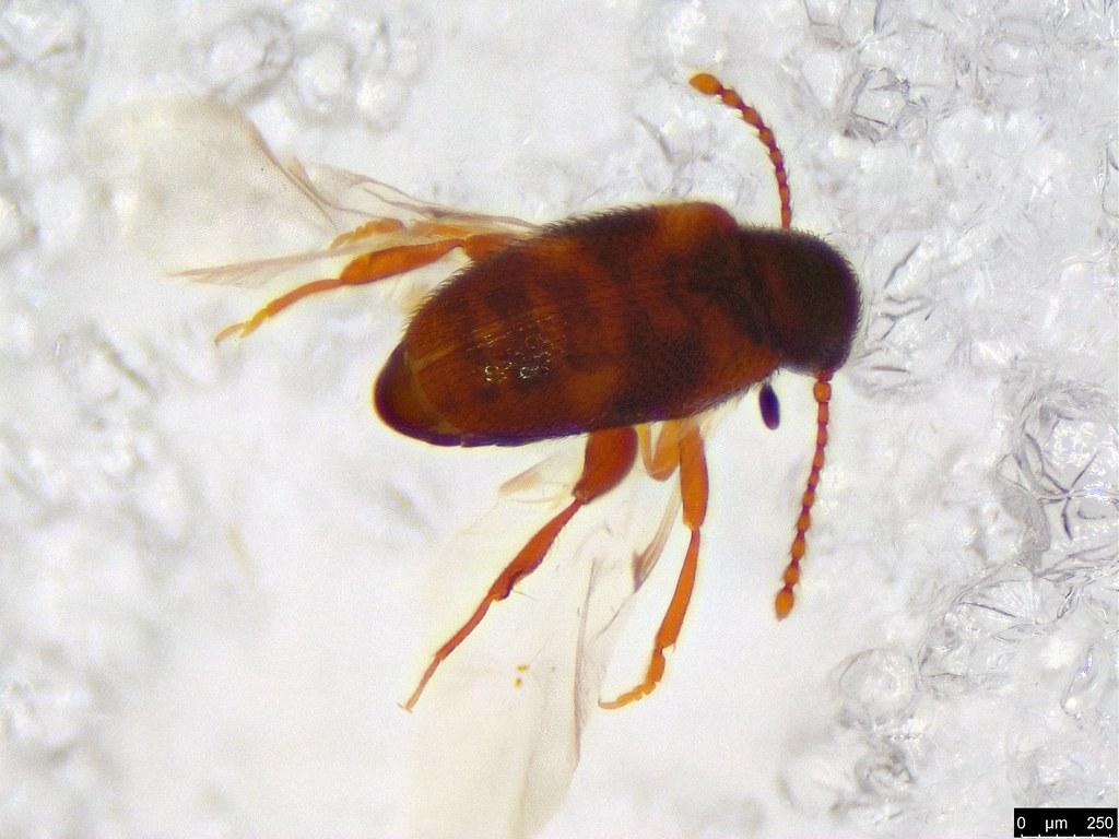 15a - Coleoptera sp.