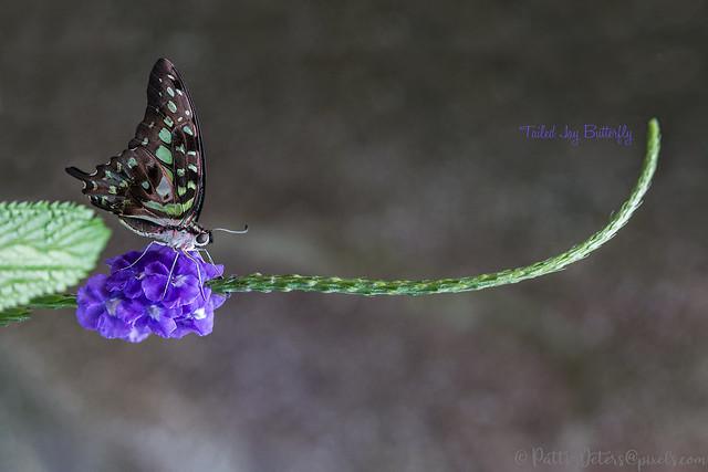 Butterfly - Tailed Jay II
