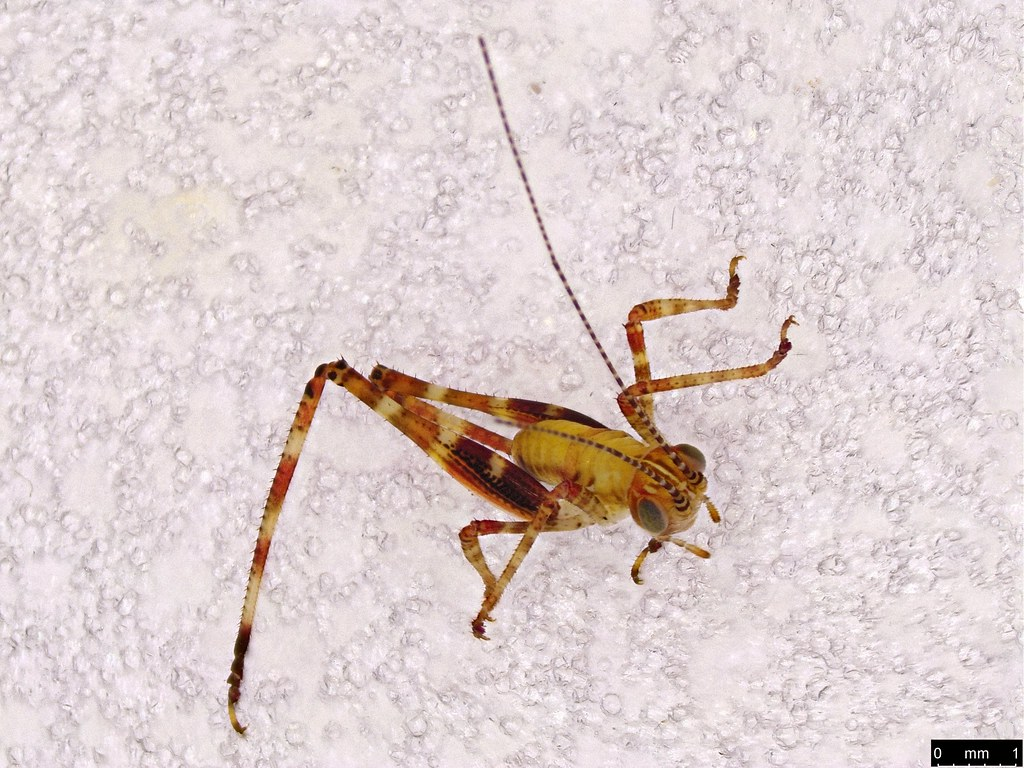 6 - Orthoptera sp.