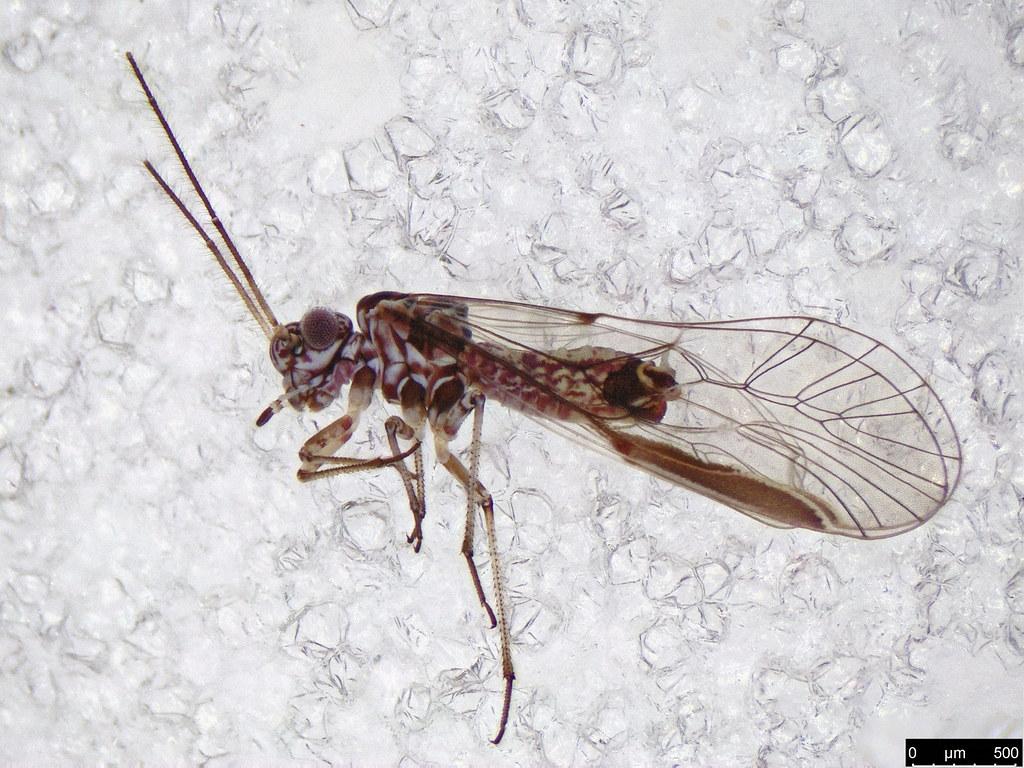 7 - Psocodea sp.