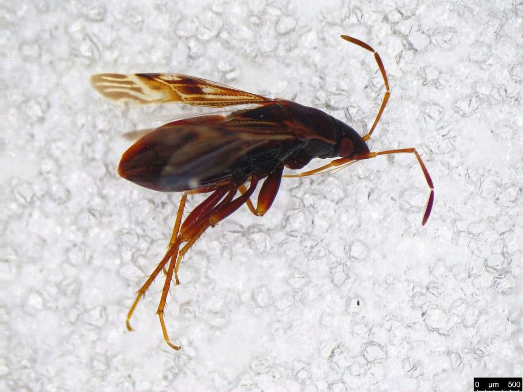 9a - Rhyparochromidae