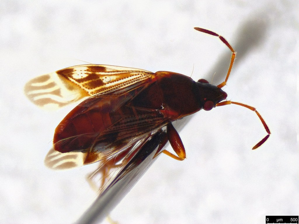 9b - Rhyparochromidae