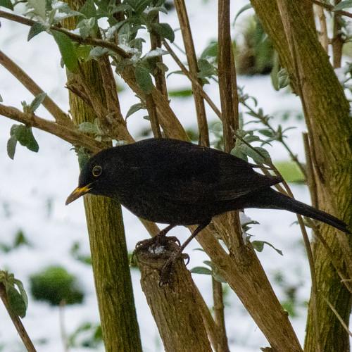 Head twisting male blackbird