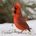 060 male red cardinal