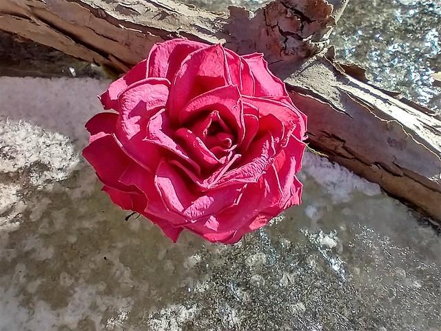 Rosenblüte auf Eis