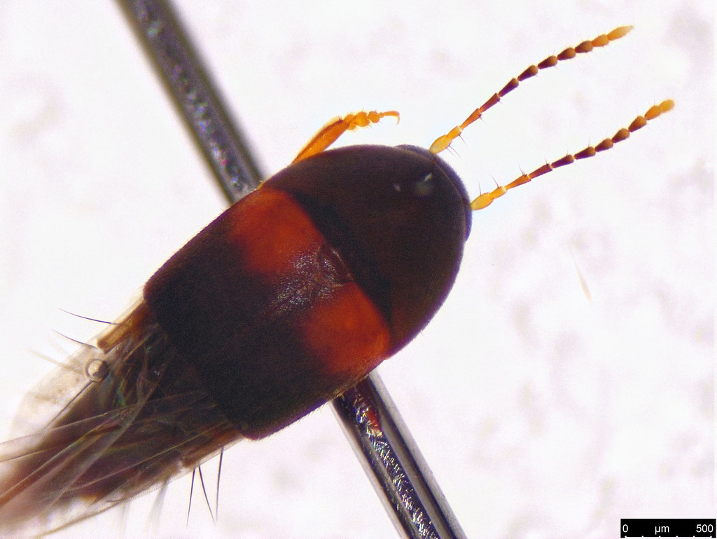 13b - Staphylinidae sp,