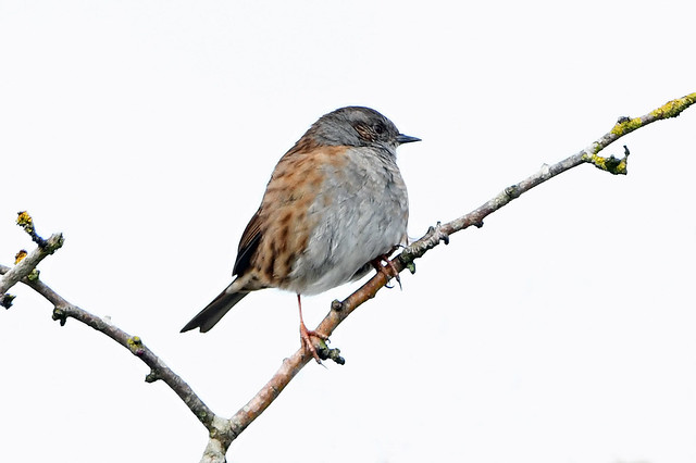 DUNNOCK at WALLINGTON.