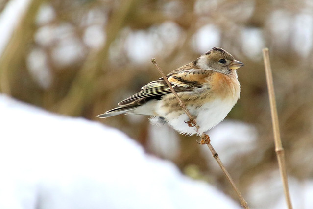 Brambling (Fringilla montifringilla) in winter, perched on a twig