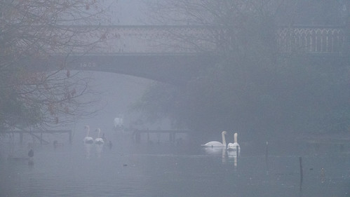 West Park bridge, mist, swan pairs