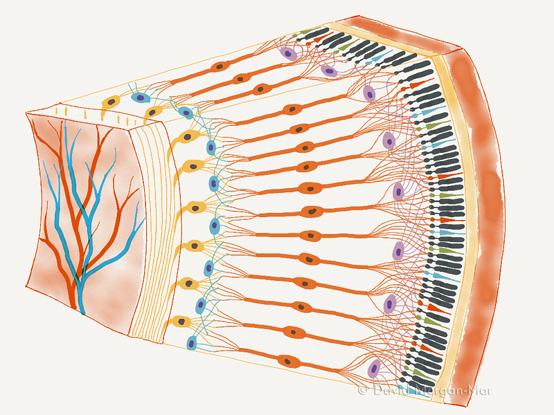 Retinal structure