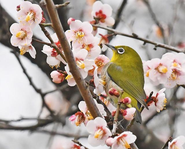 Japanese white-eye among ume flowers