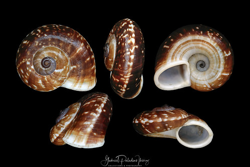 Cyclophorus species | by Gabriel Paladino Photography